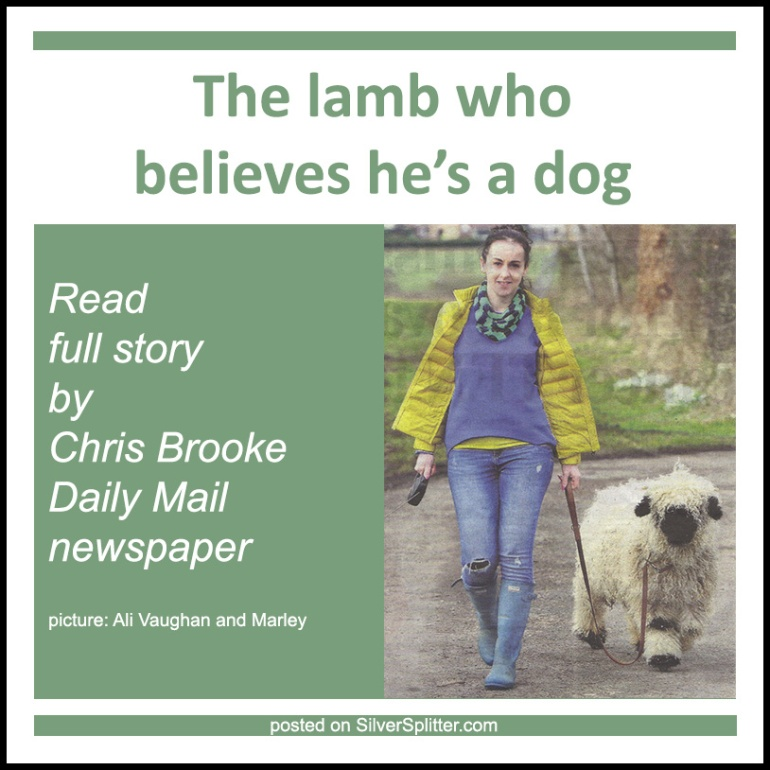 Picture of Marley the lamb, who believes he is a dog, with owner Ali Vaughan, posted on Gwen Hullah's SilverSplitter.com